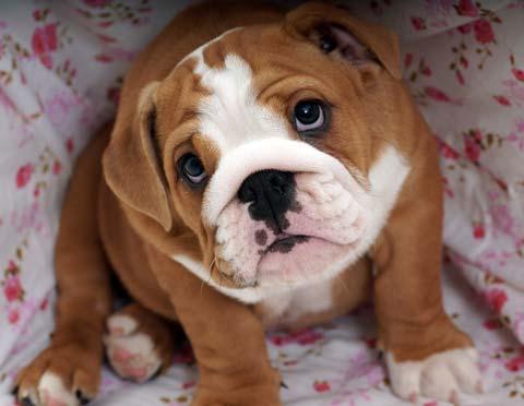 Close Up Portrait Image Of A Bulldog Puppy