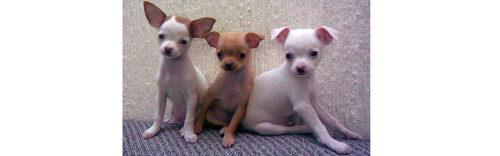 Photo of three Chihuahua dogs sitting side by side.
