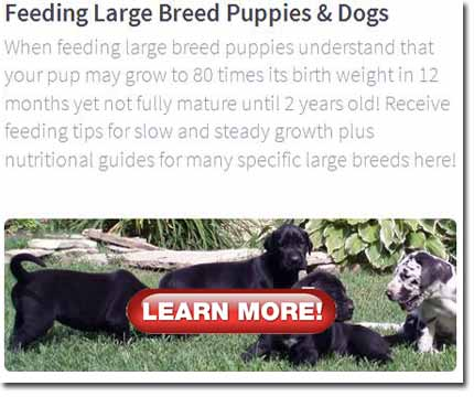 Four Great Dane puppies standing on lawn with natural background.