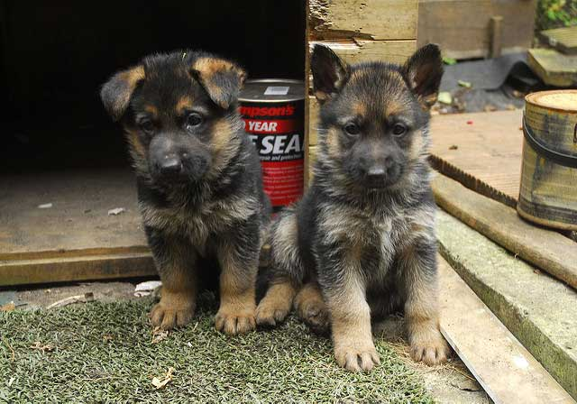 Two German Shepherd puppies sitting near a backyard work shed.