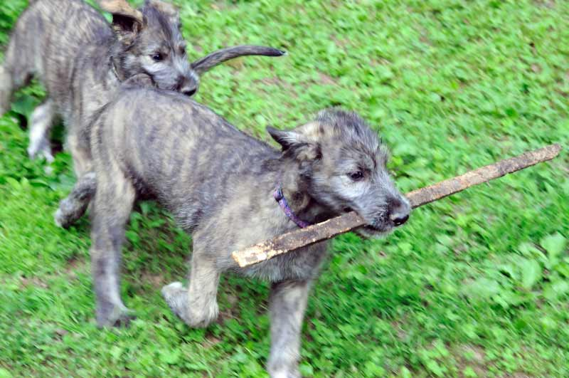 Two Irish Wolfhound puppies playing with a stick.
