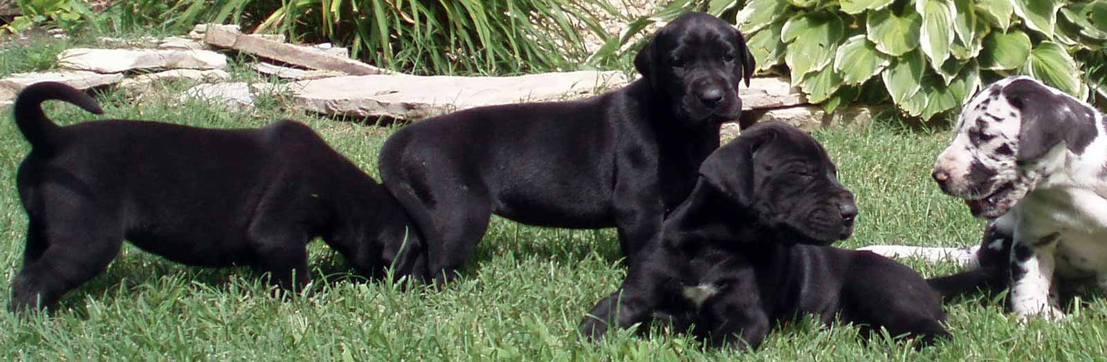 Four Great Dane large breed puppies about 4-weeks of age, three black and one harlequin.