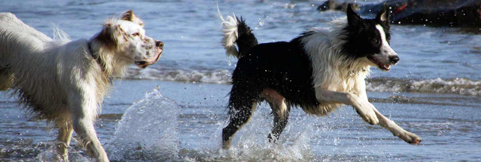 Two medium size/ medium breed dogs running at the beach.