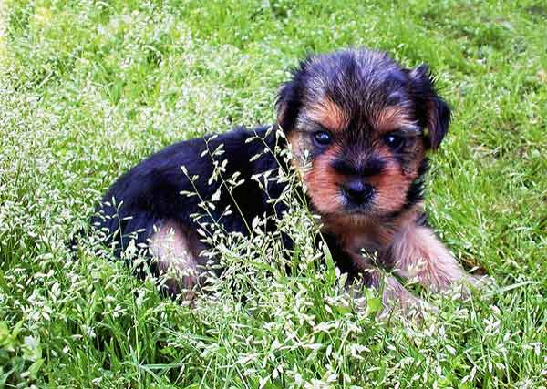 Portrait of four week old Yorkshire Terrier puppy sitting in grass.
